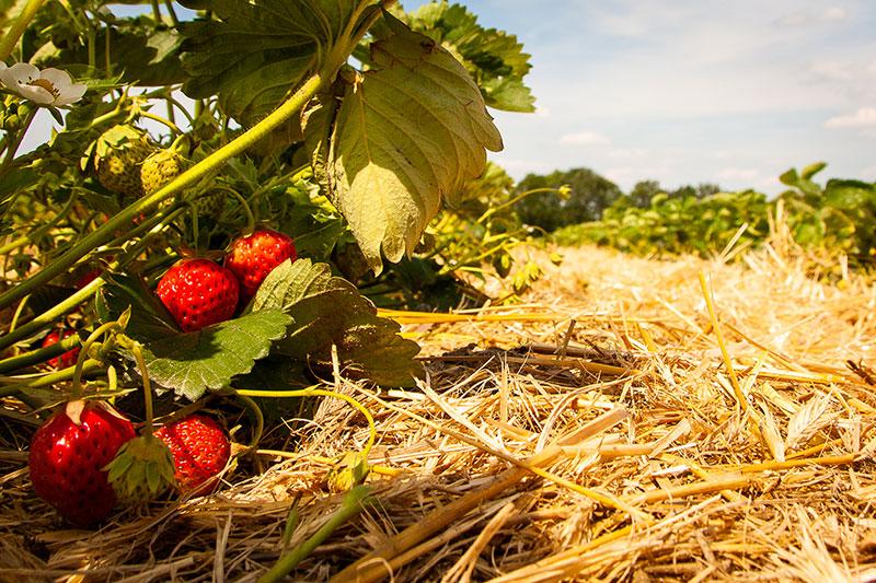 Erdbeeren vom Hof Cordes